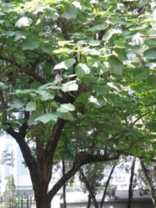 きささげの木