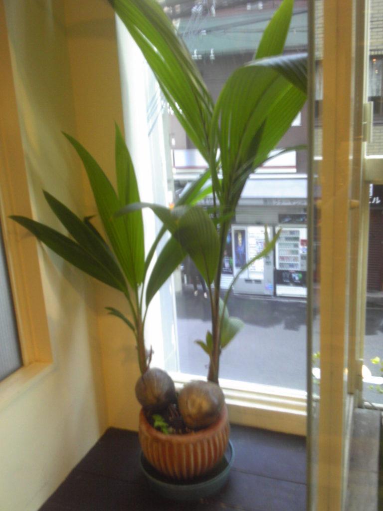 椰子の木・成長が早い。