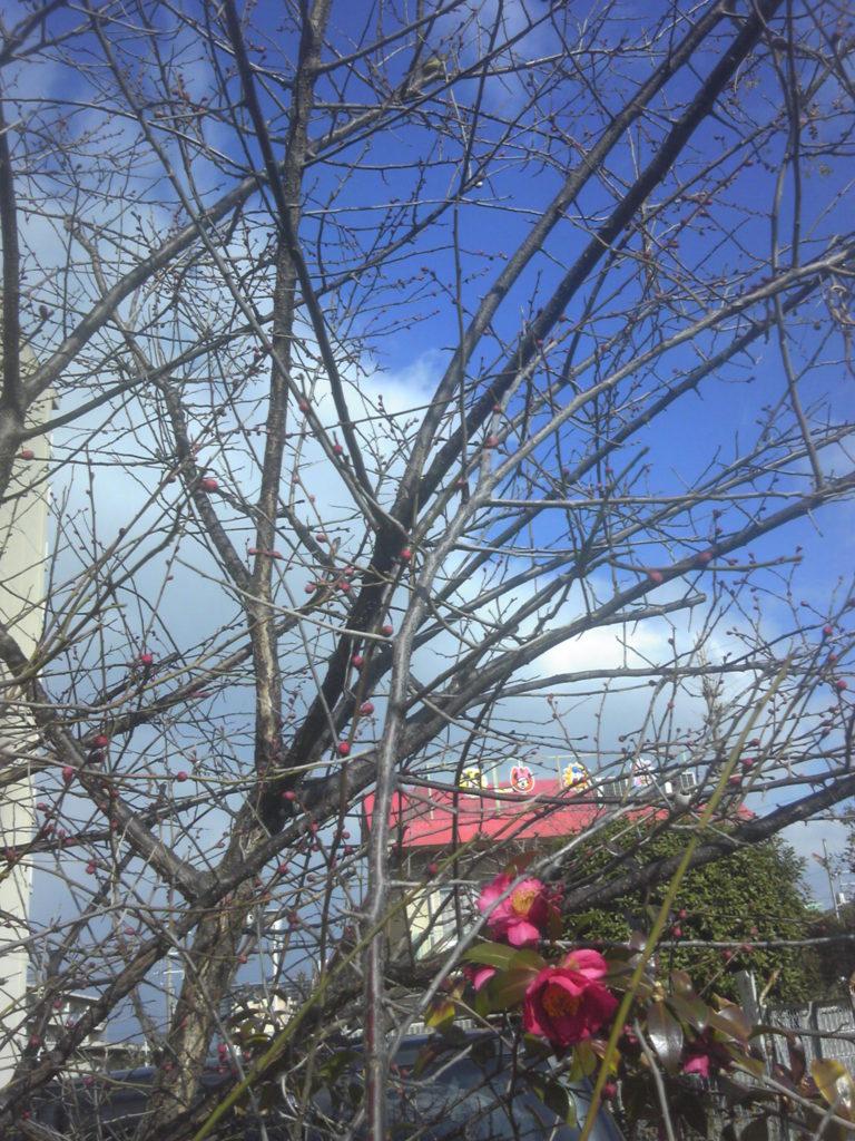 梅の蕾・春を感じる
