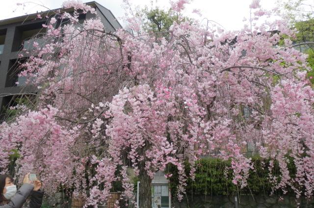京都での桜満喫。