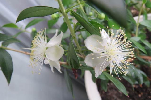 ビーナスの花が咲いた!