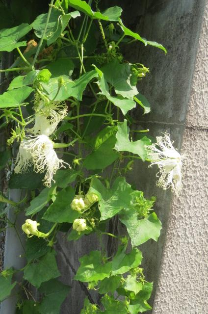 意外な所で烏瓜の花を見つける。