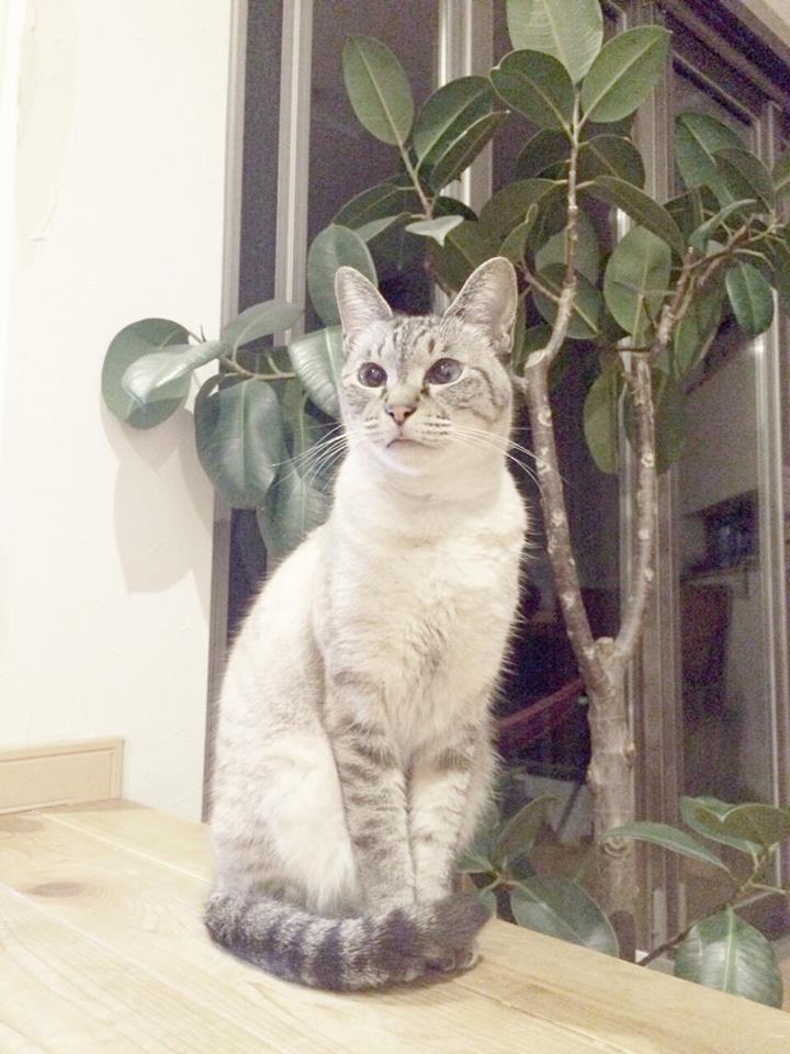 おすまし猫のミルキー・高貴な気分?