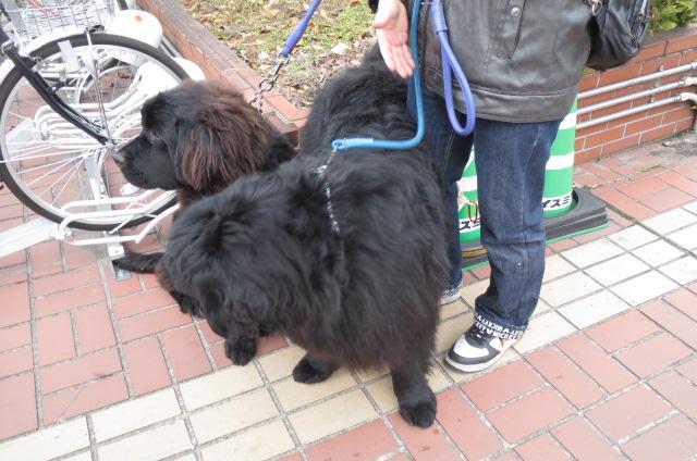 大型犬・<ニューファンドランド>に出会う