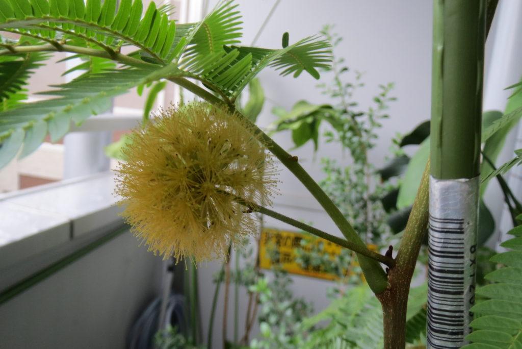 不思議な花をつけた・エバーフレシュ・・。