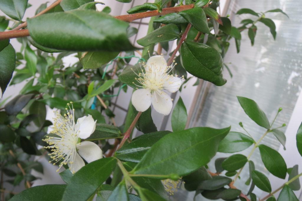 「ヴィーナスの花」が3年前30センチから1,5メートル