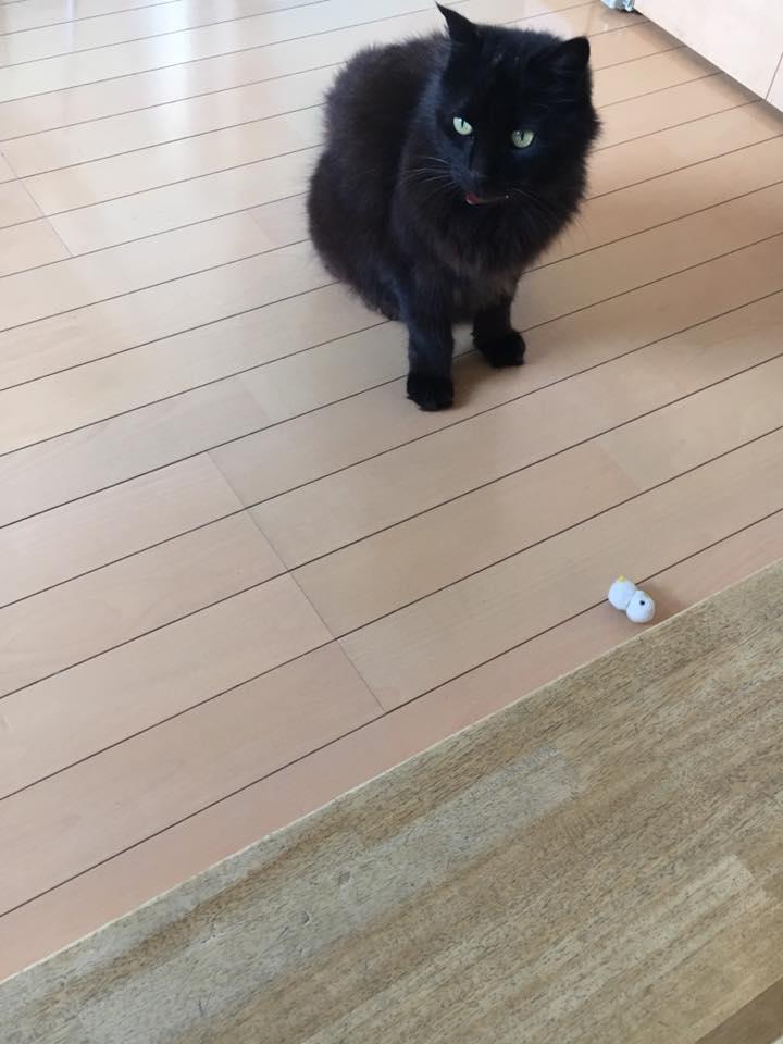 闘うココアです・面白い猫です・