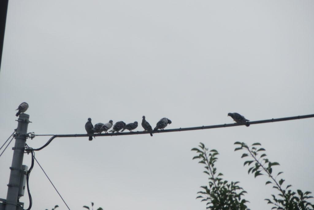 暑いのに電線で鳩が・・・。
