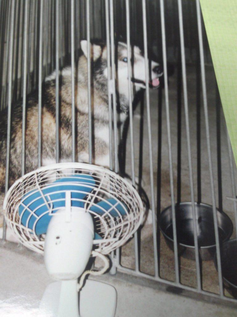 ハスキー犬のジムの写真が一枚だけ・・