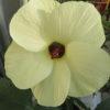 「花オクラ」今頃に咲く