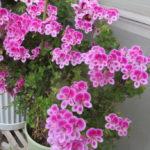 ベランダは花盛り!