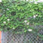 <街中に烏瓜の花>謎めいて・・・。