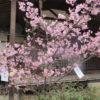 梅の有名な意賀美神社で河津桜が満開!